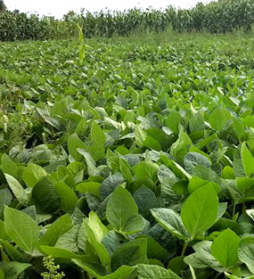 soybeans-plants-with-corn-stand