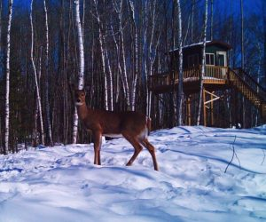 deer-on-food-plot-in-front-of-cabin