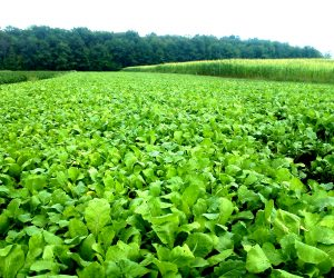 mixed-food-plot-plants